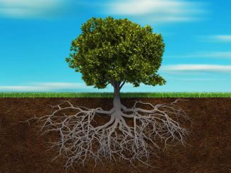 copac-cu-radacini
